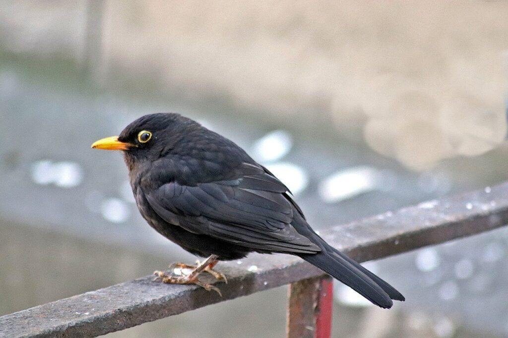 merle black, birds, sparrows